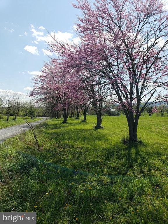 Spring has Sprung-  Red Buds in pasture  near home - 11629 DUTCHMANS CREEK RD, LOVETTSVILLE