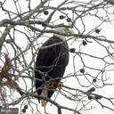 Bald eagle on the property - 160 WILLOWDALE LN, FREDERICKSBURG