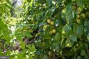 Fruit tree - 43217 BARNSTEAD DR, ASHBURN