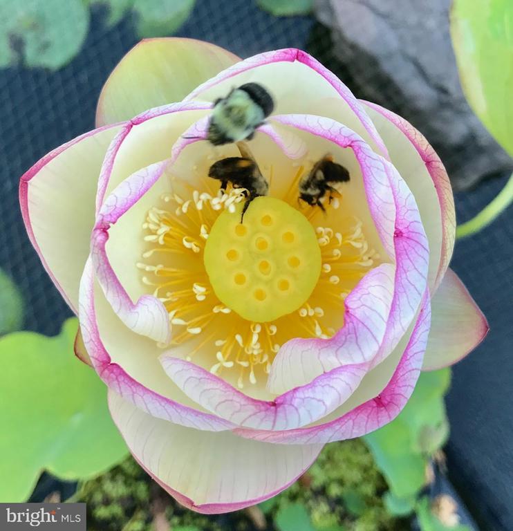 Lotus flower in Koi pond. - 12 BLOSSOM TREE CT, STAFFORD