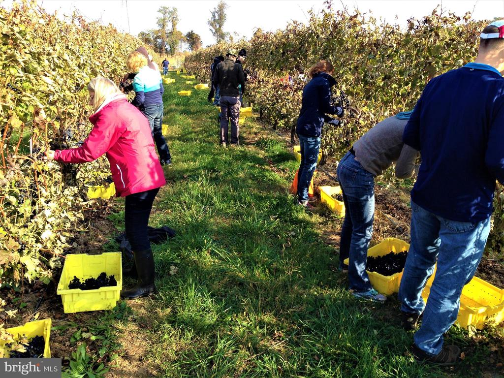 The annual grape harvest is an exciting time - 12138 HARPERS FERRY RD, PURCELLVILLE
