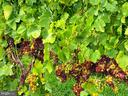 Veraison is the process of grapes ripening - 12138 HARPERS FERRY RD, PURCELLVILLE
