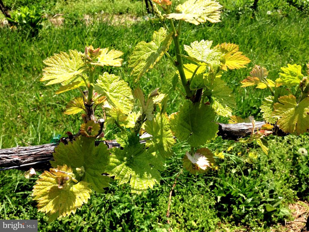 Springtime starts the cycle of the grapes life - 12138 HARPERS FERRY RD, PURCELLVILLE