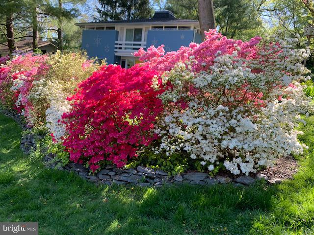 THE AZALEAS ARE AMAZING IN BLOOM - 5025 WISSIOMING RD, BETHESDA