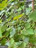Grape vines - 410 S NURSERY AVE, PURCELLVILLE