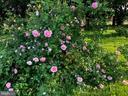 Beautiful rose bush - 410 S NURSERY AVE, PURCELLVILLE